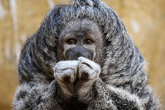 A Geoffroy's Monk Saki is seen at the Parque de Las Leyendas zoo in Lima, Peru, February 14