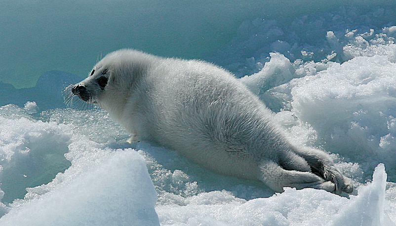 A harp seal pup on the ice of the Caspian sea