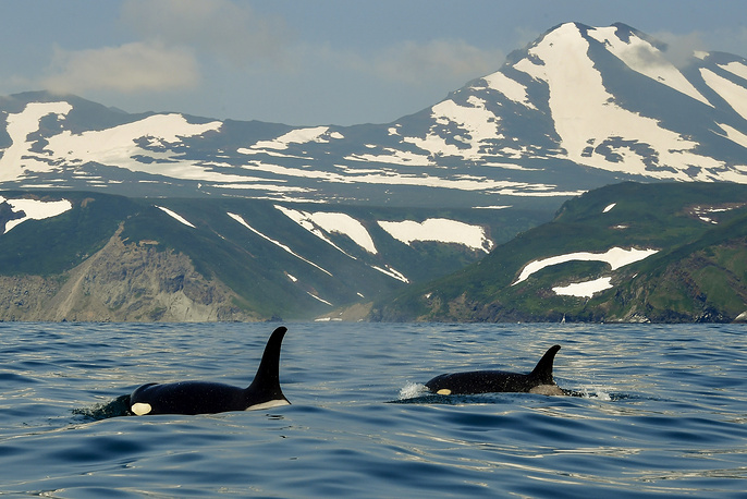 Orcas in Avacha Bay off Kamchatka Peninsula on Russia's Pacific coast