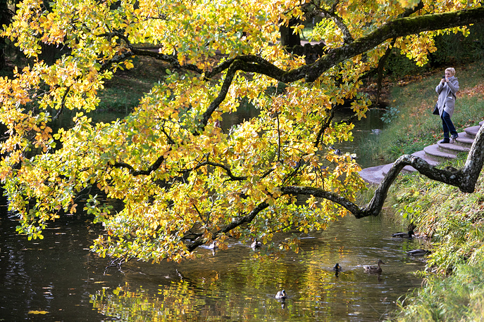Tree branches covered with yellow leaves hanging over a pond at the Tsarskoye Selo museum estate, outside St. Petersburg