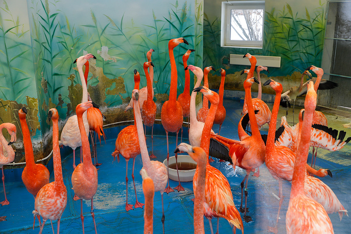 Flamingoes are seen in their enclosure at the zoo