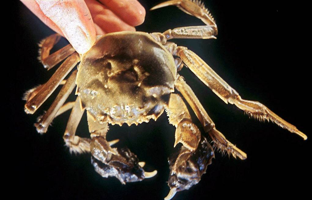 A Chinese mitten crab AP Photo/San Francisco Estuary Institute, Andrew N. Cohen