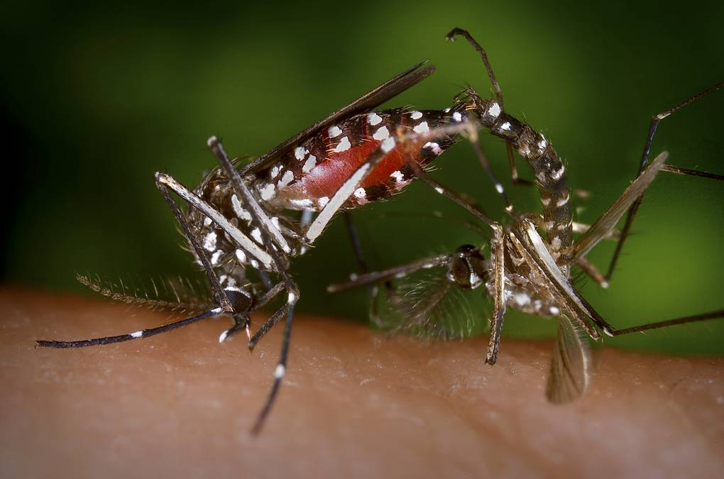 Комар Aedes albopictus REUTERS/Centers for Disease Control/James Gathany