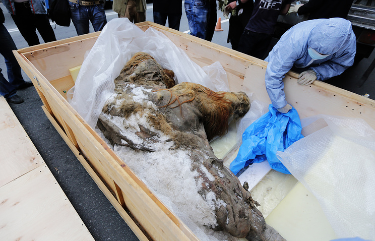 Mummified remains of mammoth Yuka