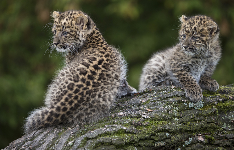 Chinese leopards (archive)