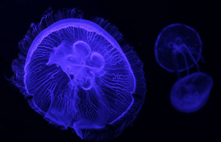 Jellyfish swim in aquarium